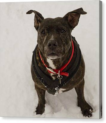 Lucy Staffie In Snow Canvas Print