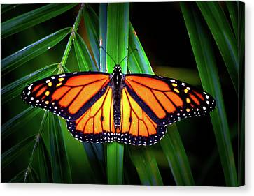 Luminescent Monarch Canvas Print by Mark Andrew Thomas