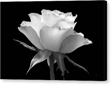 Luminous Rose Canvas Print by Terence Davis