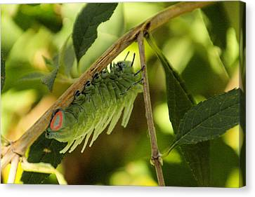 Luna Moth Caterpillar Upside Down  Canvas Print by Jeff Swan