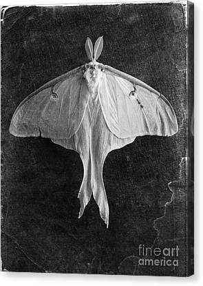 Luna Moth  Canvas Print by Edward Fielding