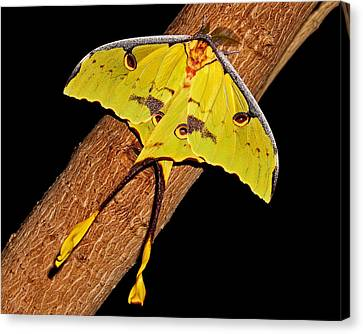 Canvas Print featuring the photograph Luna Moth by Judy Vincent