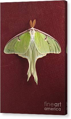 Luna Moth Over Red Leather Canvas Print by Edward Fielding