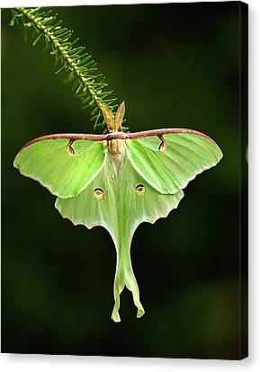 Luna Moth Spreading Its Wings. Canvas Print by Daniel Cadieux