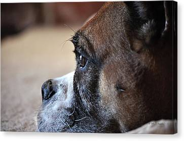 Luna The Boxer 02 Canvas Print by John Knapko