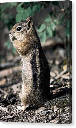 Lunchtime For Ground Squirrel Canvas Print by Sally Weigand