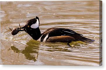 Lunchtime For The Hooded Merganser Canvas Print by Randy Scherkenbach