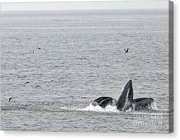Canvas Print - Lunge Feeding Humpbacks by Natural Focal Point Photography
