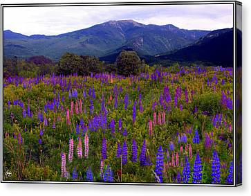 Canvas Print featuring the photograph Lupine Field In Franconia Range by Wayne King