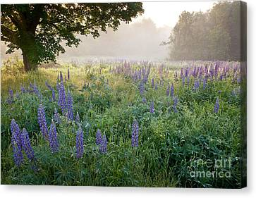 Lupine Field Canvas Print by Susan Cole Kelly