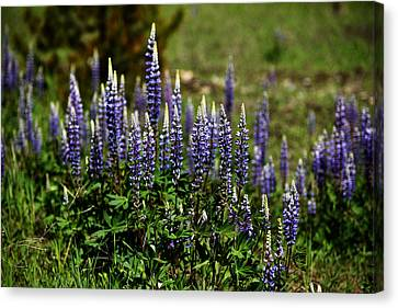 Lupine In Montana 2 Canvas Print
