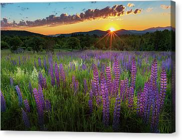 Lupine Lumination Canvas Print by Bill Wakeley