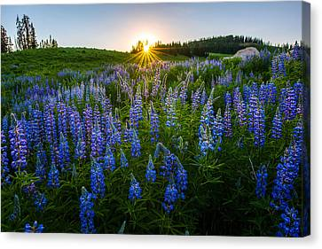 Lupine Meadow Canvas Print