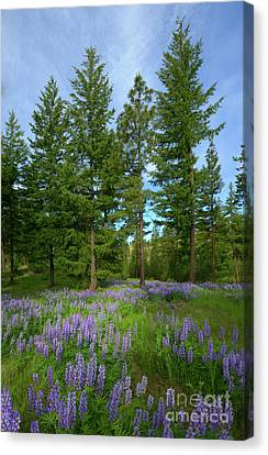 Lupine Meadow Canvas Print by Mike Dawson