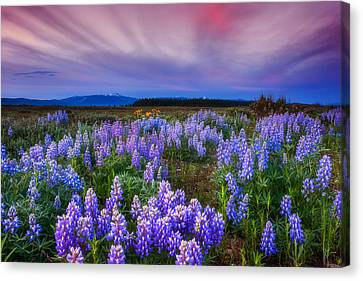 Lupine Morning Canvas Print by Darren  White