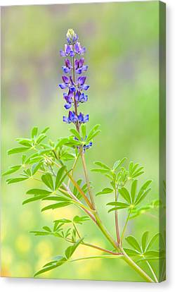 Canvas Print featuring the photograph Lupine by Ram Vasudev