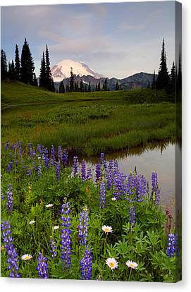 Lupine Sunrise Canvas Print by Mike  Dawson
