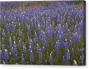 Lupines Canvas Print by Doug Herr