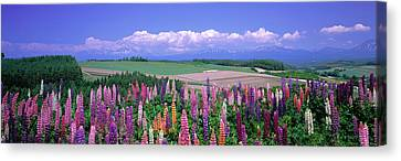 Lupines Hokkaido Japan Canvas Print by Panoramic Images