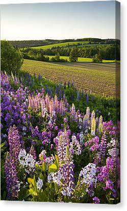 Lupins And Phlox Flowers, Clinton Canvas Print by John Sylvester