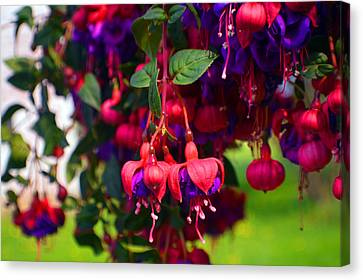 Luscious Fishia Canvas Print by Tina M Wenger