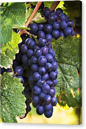 Grape Vines Canvas Print - Luscious Grape Cluster by Marion McCristall
