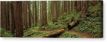 Forest Floor Canvas Print - Lush Forest With Path, Jedediah Smith by Panoramic Images