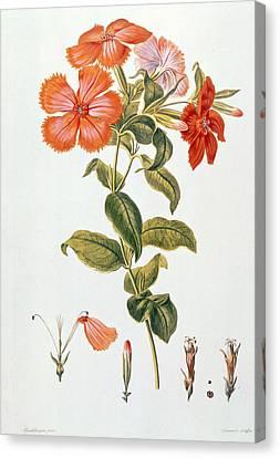 Lychnis Coronaria Canvas Print by Leopold Trattinick