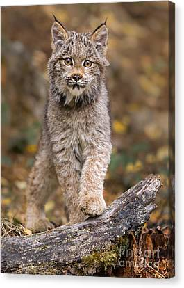 Lynx Kit Canvas Print by Jerry Fornarotto
