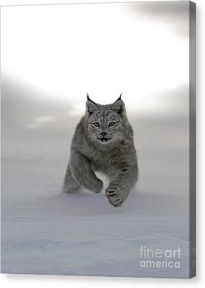 Lynx On The Move Canvas Print by Wildlife Fine Art