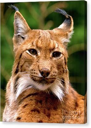 Lynx Portrait Canvas Print