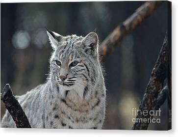 Lynx With A Very Unhappy Face Canvas Print by DejaVu Designs