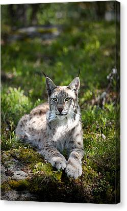 Canvas Print featuring the photograph Lynx by Yngve Alexandersson