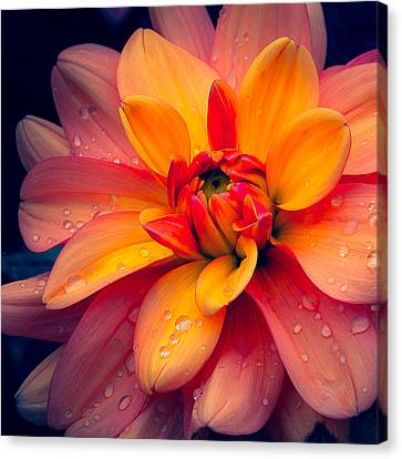 Maarn Dahlia And Drops Canvas Print by Julie Palencia