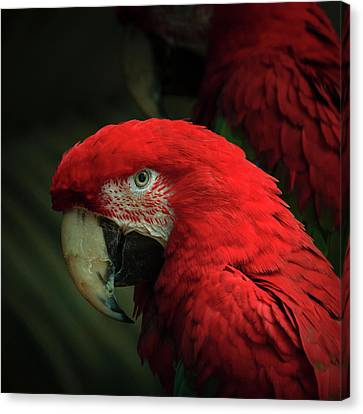 Macaw Portrait Canvas Print