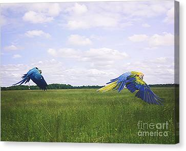 Macaws Flying Together Canvas Print