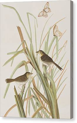 Macgillivray's Finch  Canvas Print by John James Audubon
