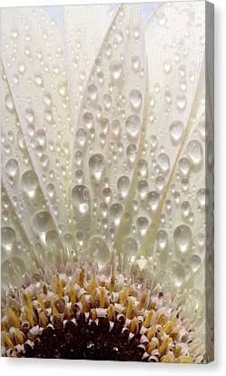 Macro Close Up Of A Daisy Flower Canvas Print