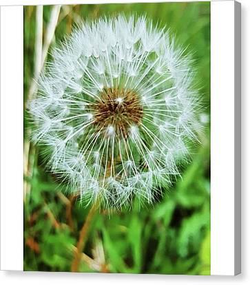 #macro #dandelion #dandelionclock Canvas Print by Natalie Anne