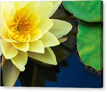 Macro Image Of Yellow Water Lilly Canvas Print by John Williams