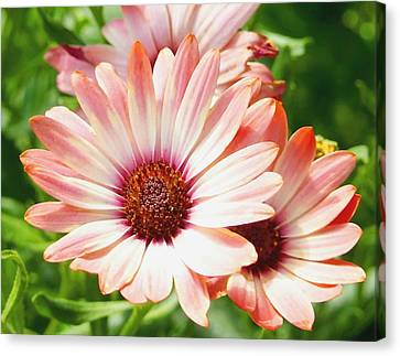 Macro Pink Cinnamon Tradewind Flower In The Garden Canvas Print