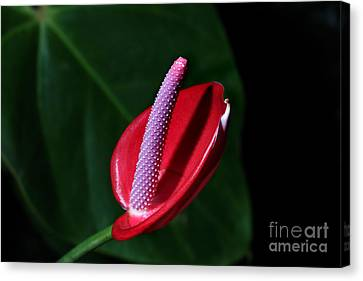 Macro Red  Anthurium Flower Canvas Print