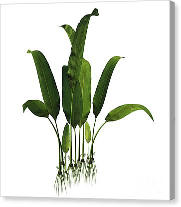 Macrotaeniopteris Magnifolia Plant Canvas Print