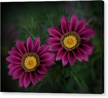 Canvas Print featuring the photograph Magenta African Daisies by David and Carol Kelly