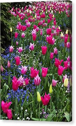 Magenta And White Tulips Canvas Print by Louise Heusinkveld
