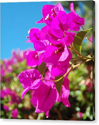 Magenta Bougainvillea Canvas Print by Jean Booth