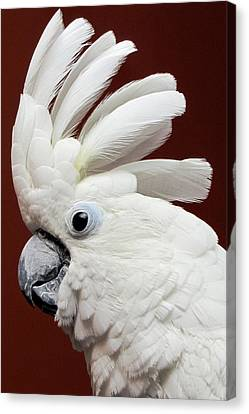 Maggie The Umbrella Cockatoo Canvas Print