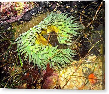 Sea Anenome Canvas Print - Giant Green Sea Anenome by Joyce Dickens