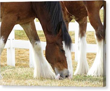 Magnificant Horses - The Clydesdales -18 Canvas Print