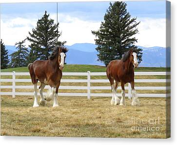 Magnificant Horses - The Clydesdales -19 Canvas Print
